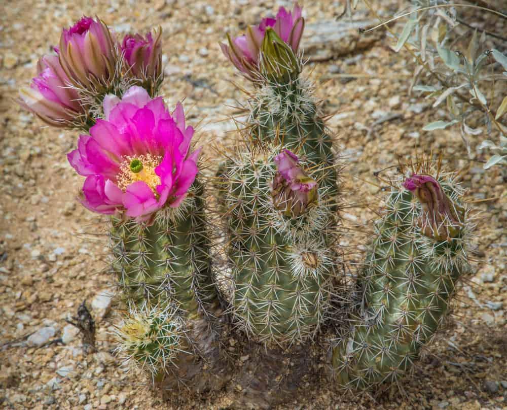 Calico Cactus (Echinocereus Engelmannii)