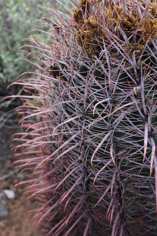 Cat's Claw (Ancistrocactus uncinatus)