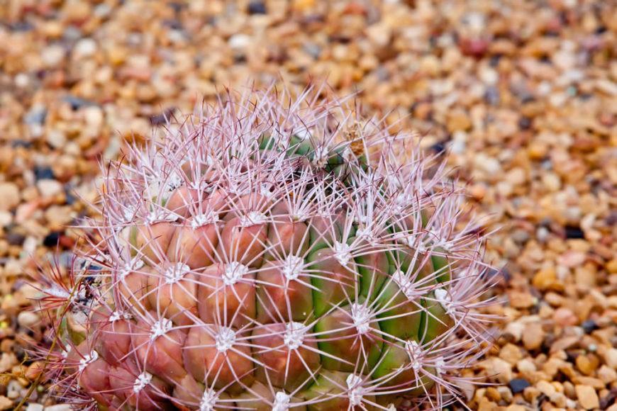 Chin Cactus (Gymnocalycium Gibbosum)
