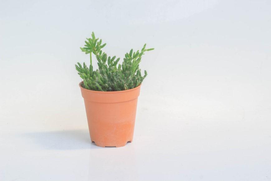 Clumpy Mistletoe (Rhipsalis Mesembryanthemoides)