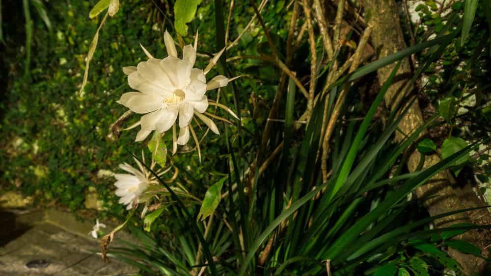 Dutchman's Pipe Cactus (Epiphyllum Oxypetalum)