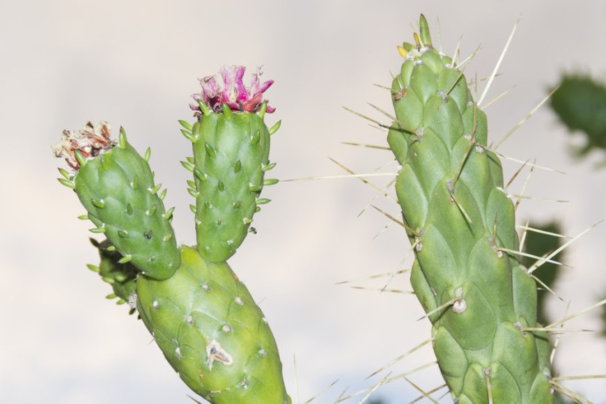 Eve's Needle Cactus (Austrocylindropuntia subulata)