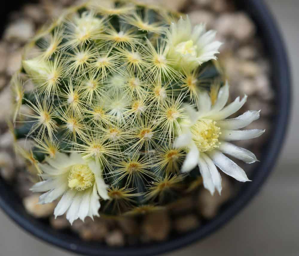 Fishhook Cactus (Mammillaria Schiedeana)