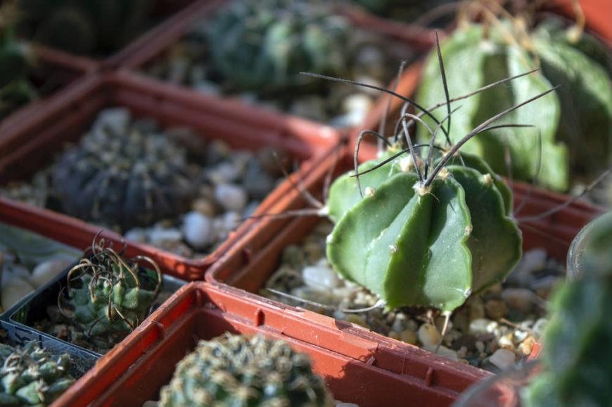Goat's Horn Cactus (Astrophytum senile)