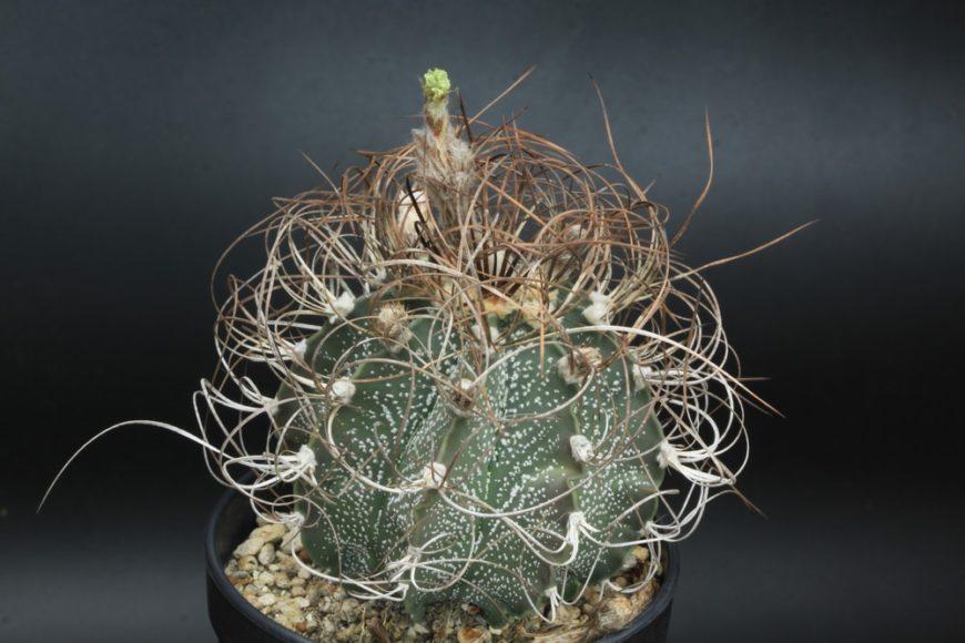 Gods Horn Cactus (Astrophytum Capricorne)