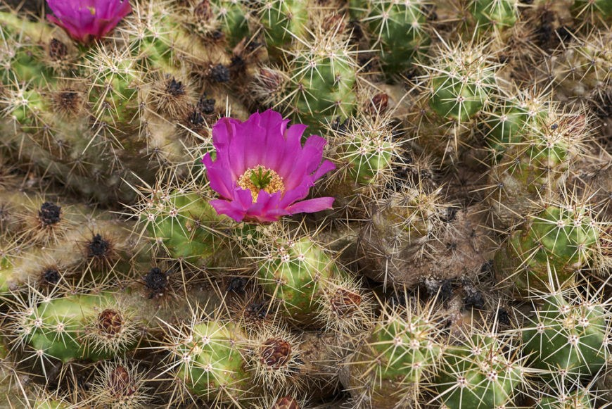 Green Strawberry Hedgehog Cactus (Echinocereus Enneacanthus)