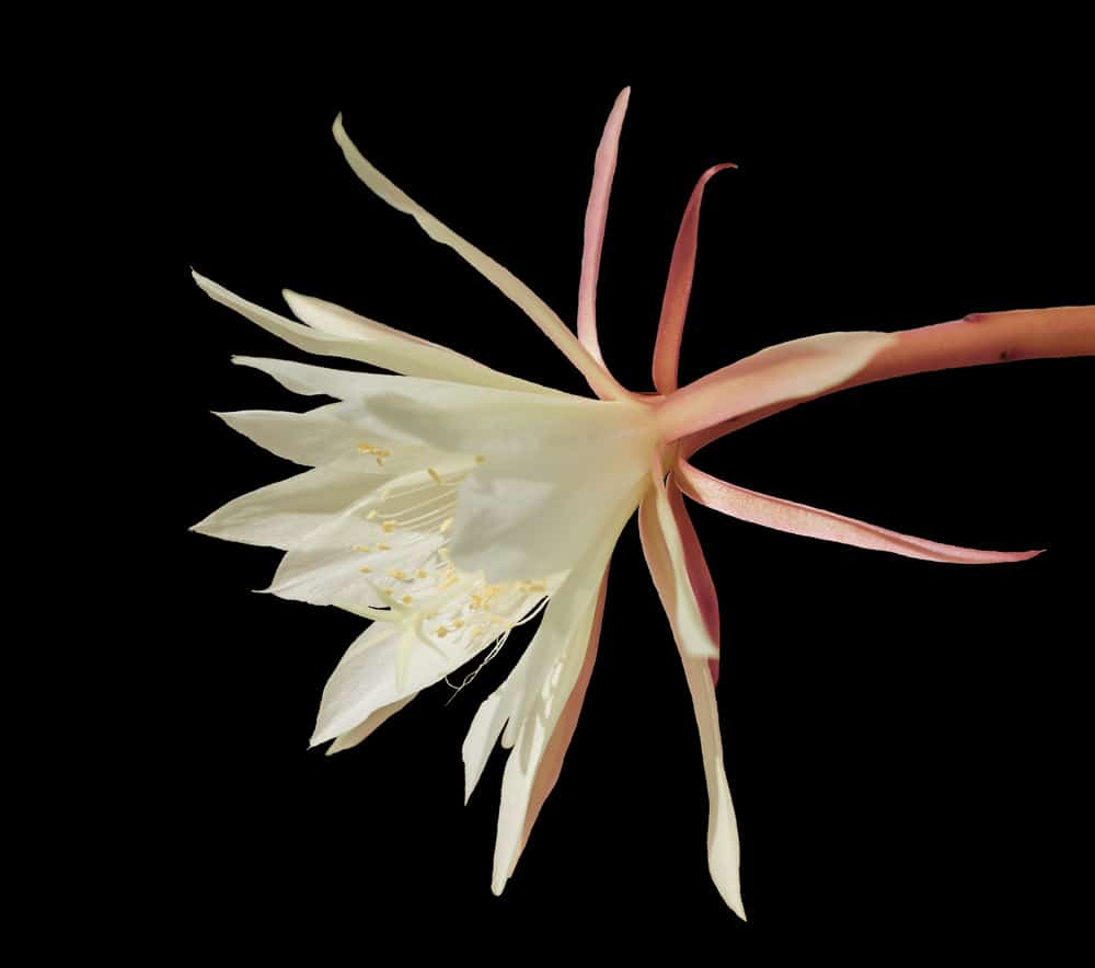 Hooker's Orchid Cactus (Epiphyllum Hookeri)