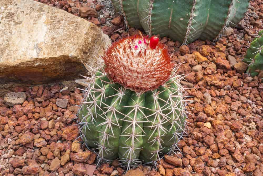Melocactus (Melocactus Bahiensis)