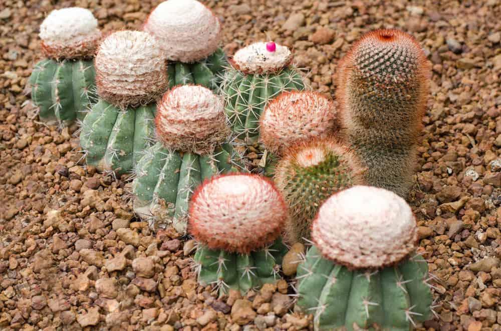 Melocactus (Melocactus Zehntneri)