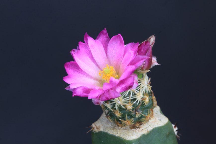 Missouri Foxtail Cactus (Escobaria Missouriensis)