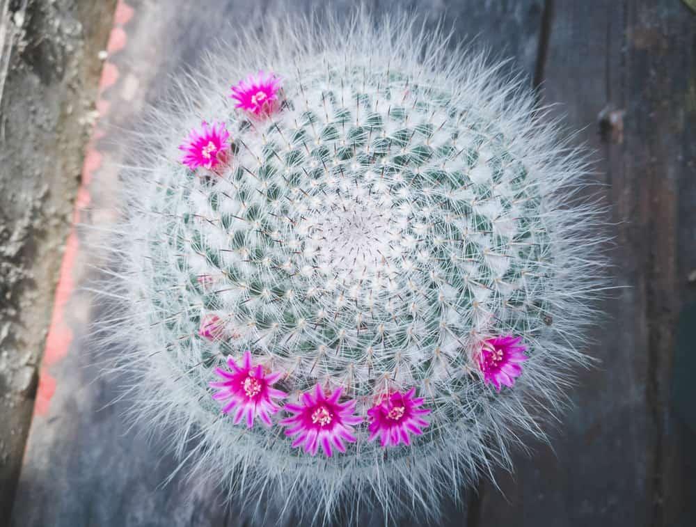 Old Lady Cactus (Mammillaria Hahniana)
