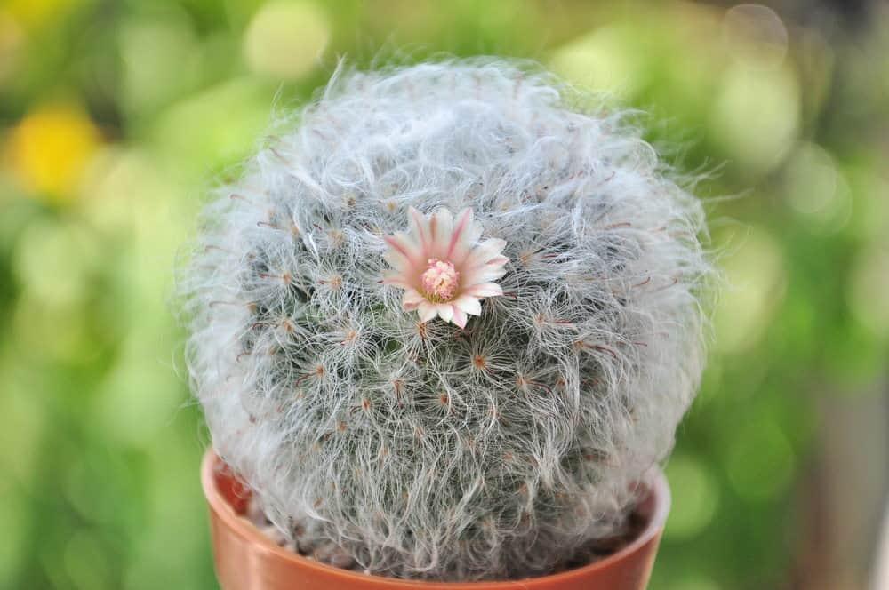 Powder Puff Cactus (Mammillaria Bocasana)