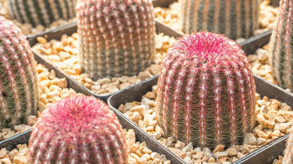 Rainbow Cactus (Echinocereus Pectinatus)