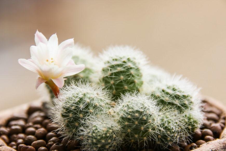 Rebutia (Rebutia Albiflora)