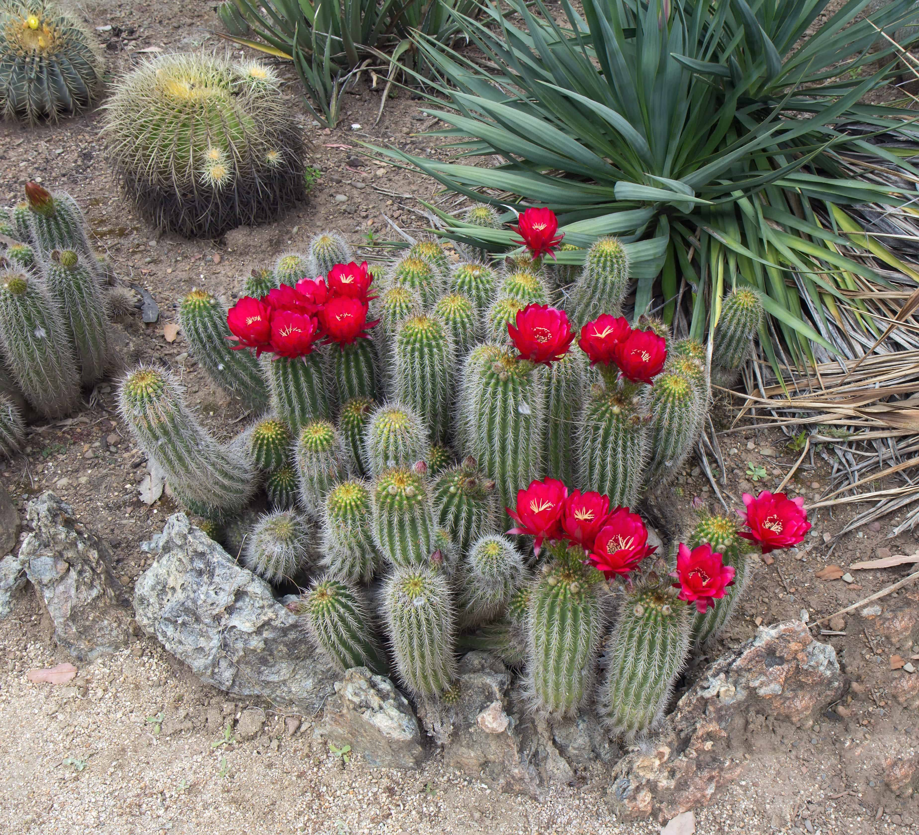 Red Torch Cactus (Echinopsis Huascha)