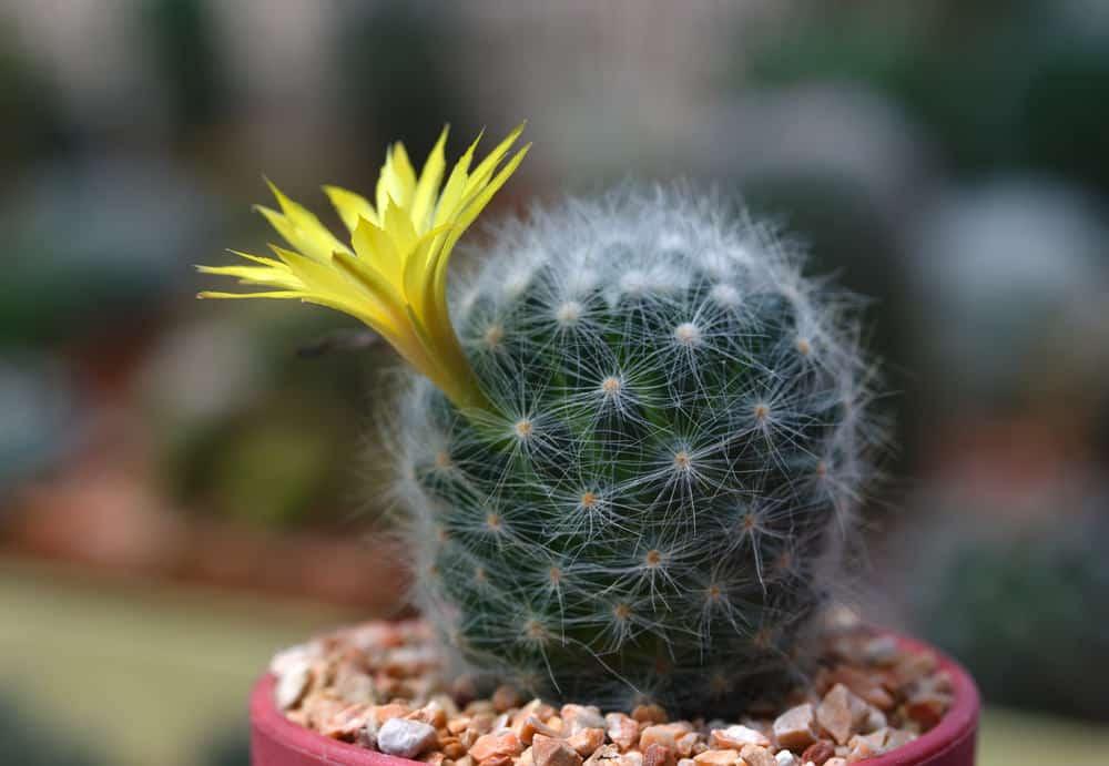 Snowball Cactus (Mammillaria Candida)