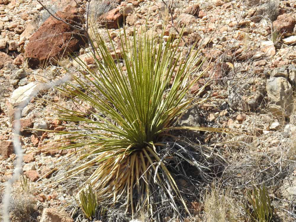 Sotol Plant (Dasylirion)