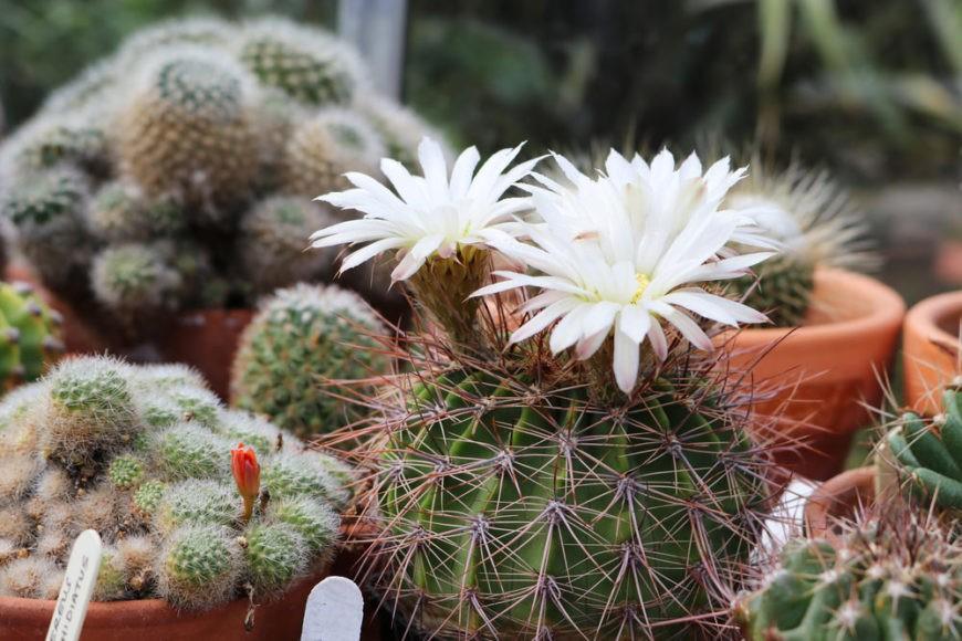 Spiny lilac flower cactus (Acanthocalycium klimpelianum)