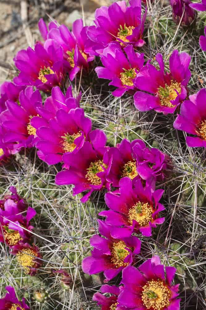 Strawberry Hedgehog Cactus (Echinocereus Stramineus)
