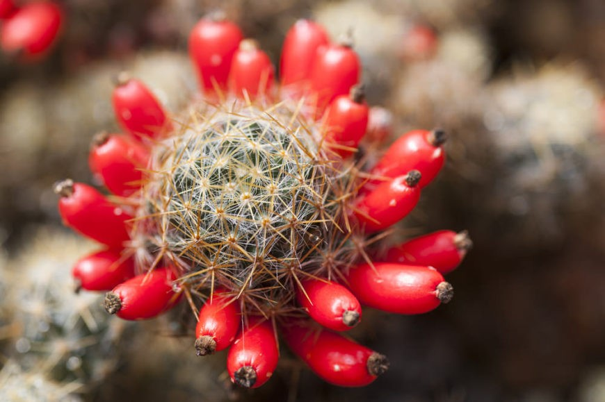 Texas Nipple Cactus (Mammillaria Prolifera)
