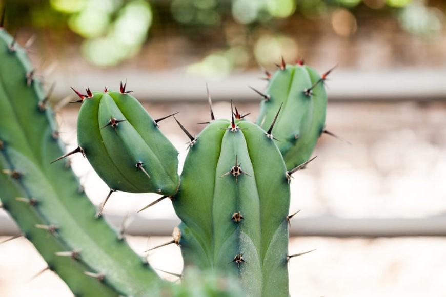 Whortleberry Cactus (Myrtillocactus Geometrizans)
